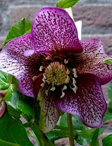 Helleborus or. Lord™-Speckled Red