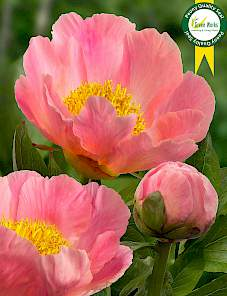 Paeonia-Coral Scout