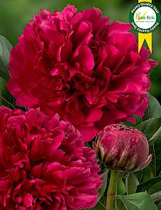 Paeonia-Red Magic