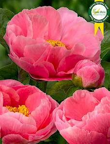 Paeonia-Salmon Dream
