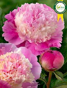 Paeonia-She's My Star