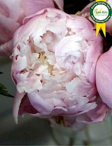 Paeonia-Vogue