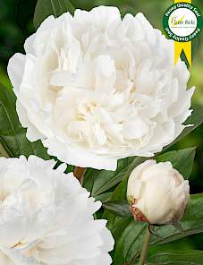 Paeonia-Snow Princess