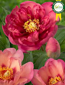 Paeonia itoh-Magical Mystery Tour