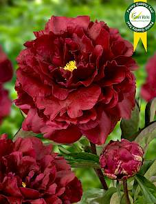 Paeonia-Black Beauty
