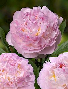 Paeonia-Blush Queen