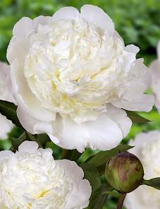 Paeonia-Bowl of Cream