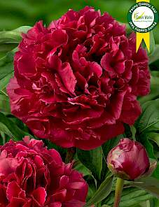 Paeonia-Highlight