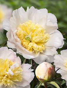 Paeonia-Honey Gold