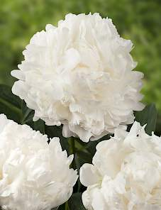 Paeonia-Mme. Claude Tain