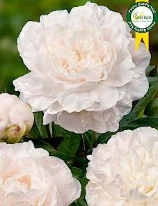 Paeonia-Mothers Choice