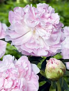 Paeonia-My Love