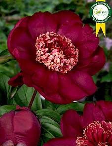 Paeonia-Nippon Beauty
