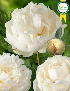 Paeonia-Snow Mountain