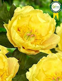 1 GARDEN TREASURE Peony Bulb Yellow peony Flowers Bulbs Potted Home Garden Balcony Plant