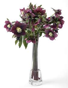 Helleborus or. Queens-Queens™ Dark Red