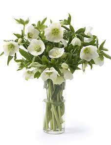 Helleborus or. Queens™-White