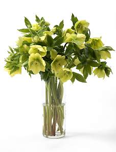 Helleborus or. Queens™-Yellow