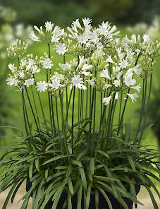 Agapanthus Summer Love™-White