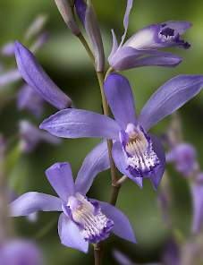 Bletilla striata-Blue Dragon