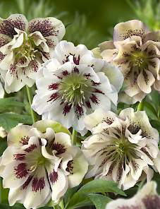 Helleborus-Double Ellen™ Spotted White