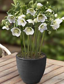 Helleborus or. King™-White