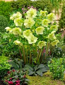 Helleborus or. King™-Yellow