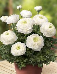 Bianco Ranunculus Success XXL White
