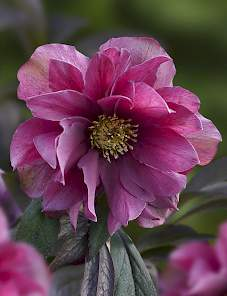 Helleborus or. Prince™-Double Red