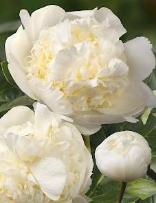 Paeonia-Bridal Shower