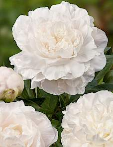 Paeonia-Brother Chuck