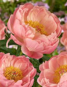 Paeonia-Coral Charm