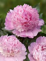 Paeonia Angel Cheeks | Green Works