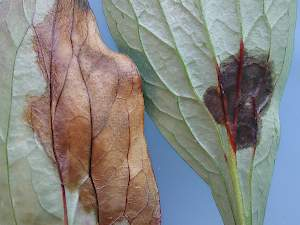 Left Botrytis and right leaf spot damage