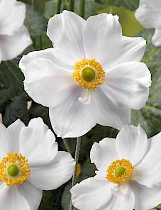 Anemone Summer Shade™-Summer Shade White Attraction