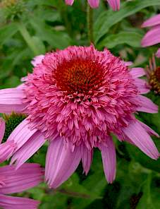 Echinacea-Sunacea™ Double Action