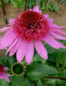 Echinacea-Sunacea™ Double Attraction