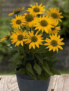 Echinacea-Sunacea™ Golden Grace