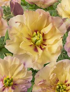 Paeonia Itoh-Canary Brilliants