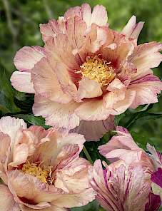 Paeonia Itoh-Lollipop