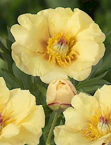 Paeonia Itoh-Sequestered Sunshine