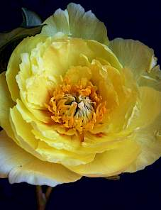 Paeonia Itoh-Yellow Gem