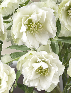 Helleborus or. Queens™-Double White