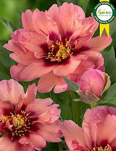 Paeonia Itoh-Kopper Kettle