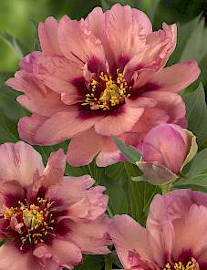 Paeonia Itoh-Copper Kettle