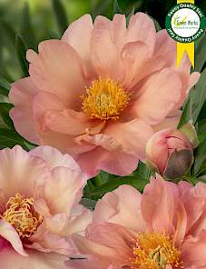 Paeonia Itoh-Singing in the Rain