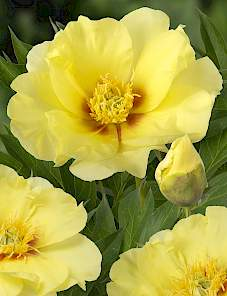 Paeonia Itoh-Going Bananas