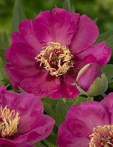 Paeonia Itoh-Sonoma by the Bay