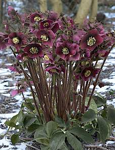 Helleborus or. King™-Dark Red