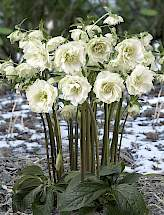 Helleborus or. King™ Double White